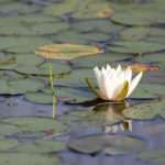 Water lily in Little Tunk Pond. Photo credit Kelly Bellis.