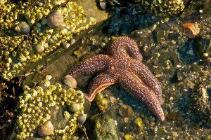 Sea Star. Photo credit Gerry Monteux.