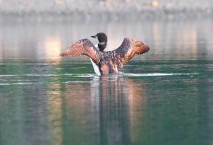 Loon stretching in Preble Cove, Sullivan. Photo credit Jeff DiBella.