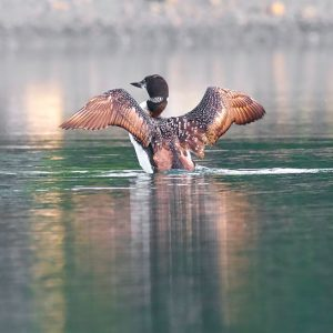Loon stretching in Preble Cove, Sullivan. Photo credit Jeff DiBella.