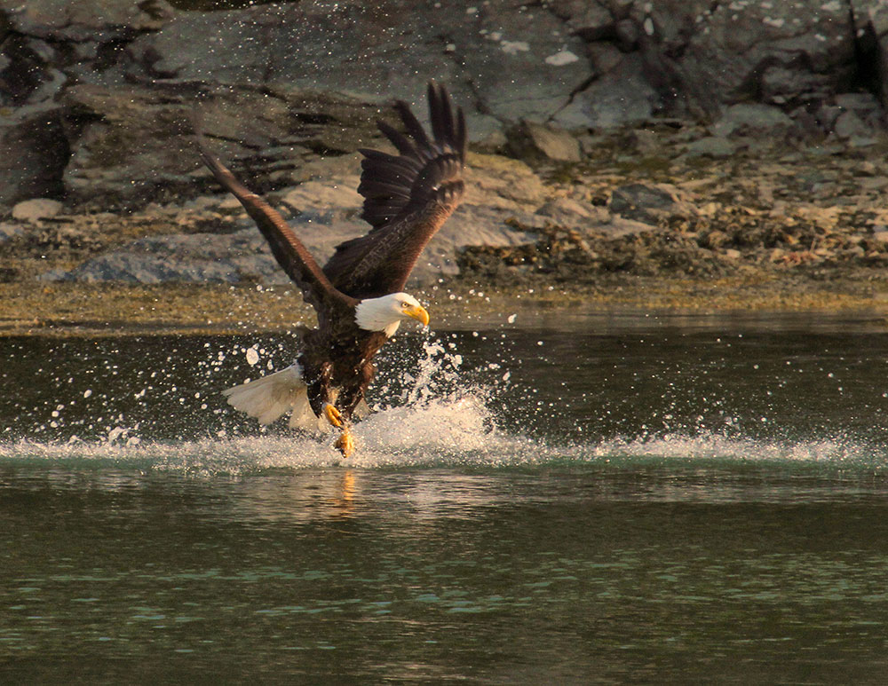 Eagle at Tidal Falls. Photo credit Debbie Stahre.