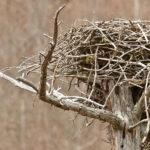 Osprey at Schoodic Bog. Photo credit Jeff DiBella.