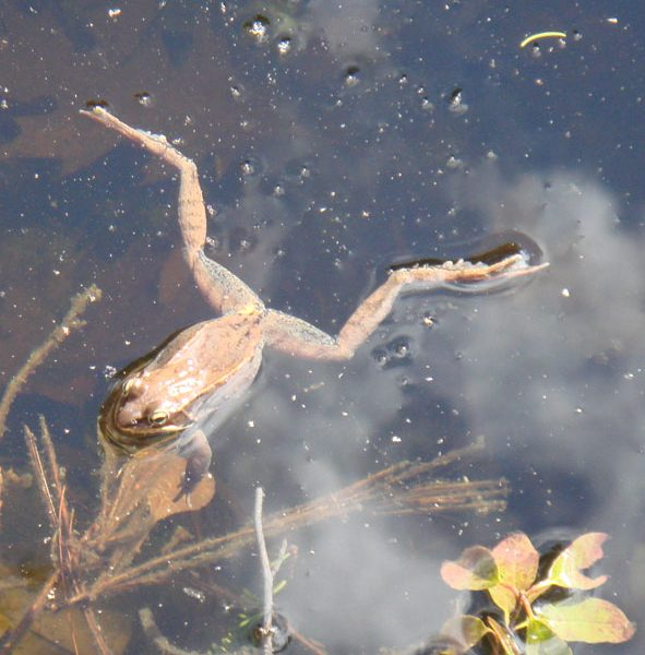 Wood frog, Rana sylvatica. Photo credit Tom Sidar.